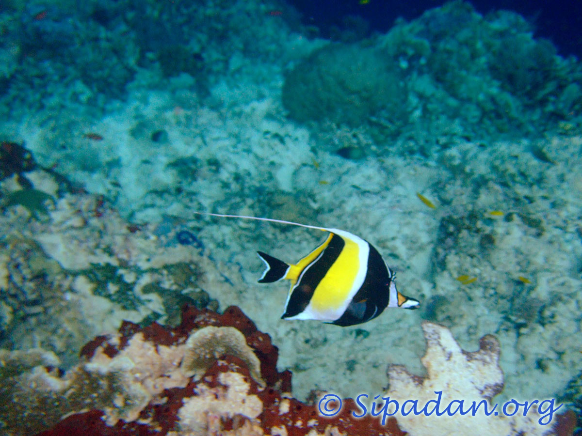 Moorish idol 1