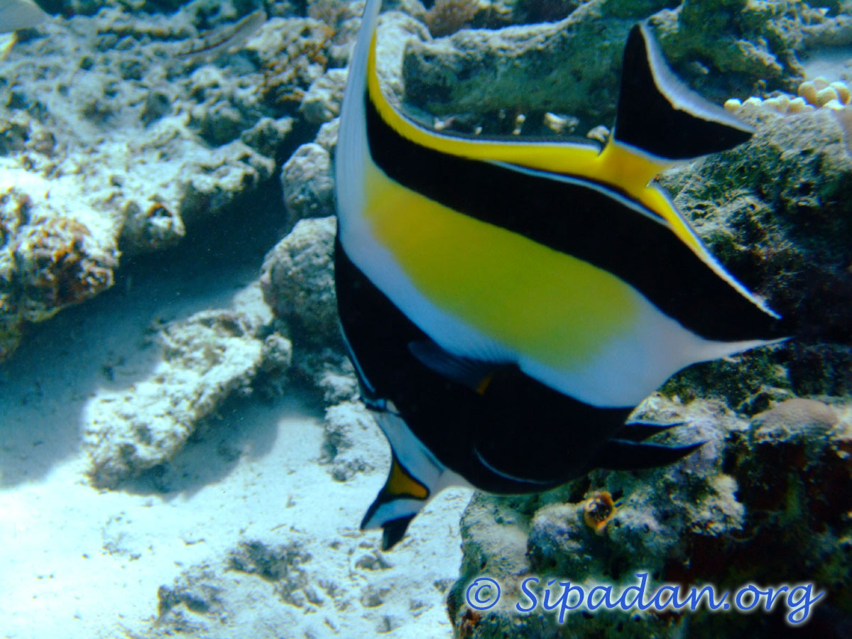 Moorish idol 4