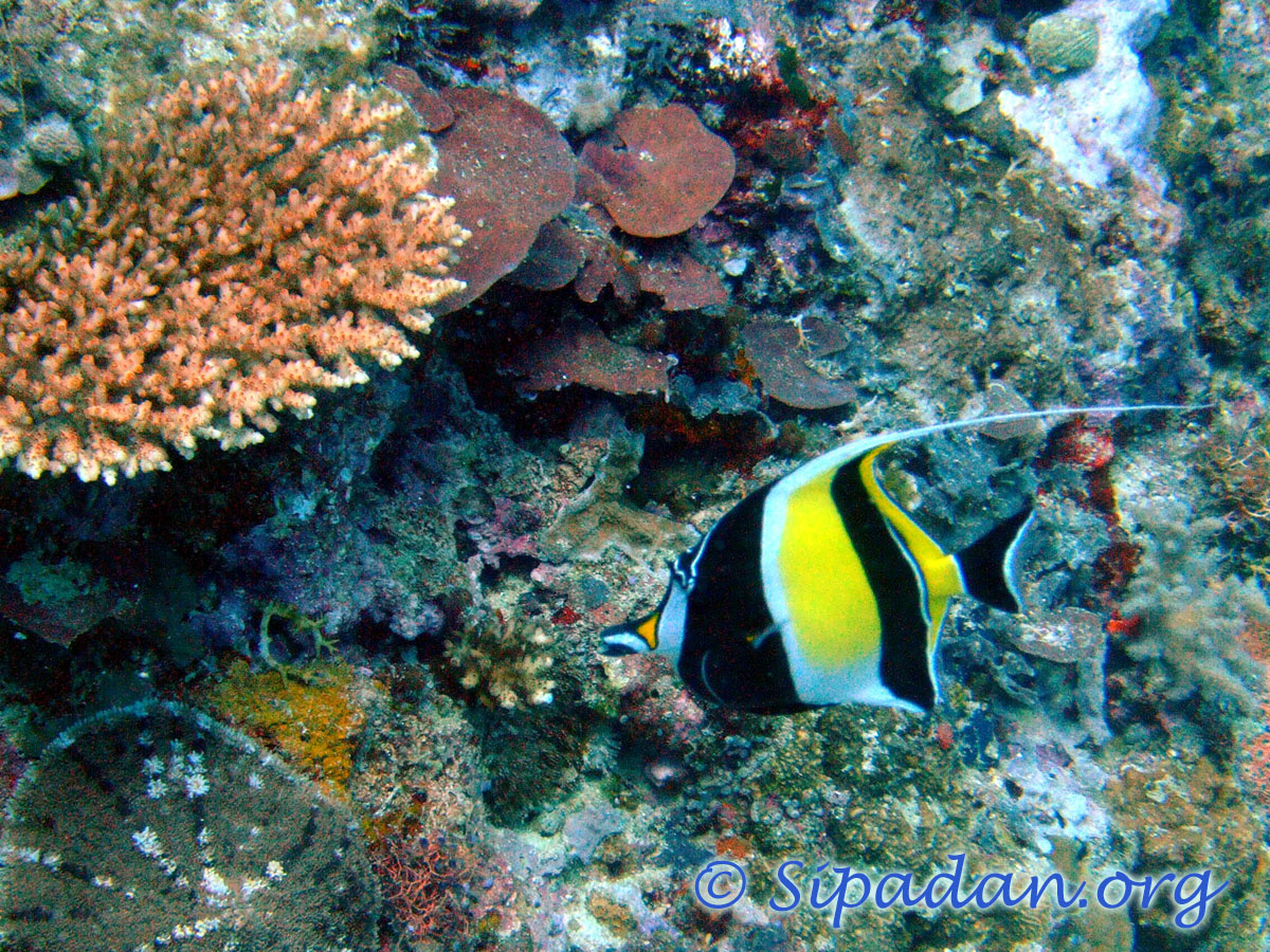 Moorish idol 6