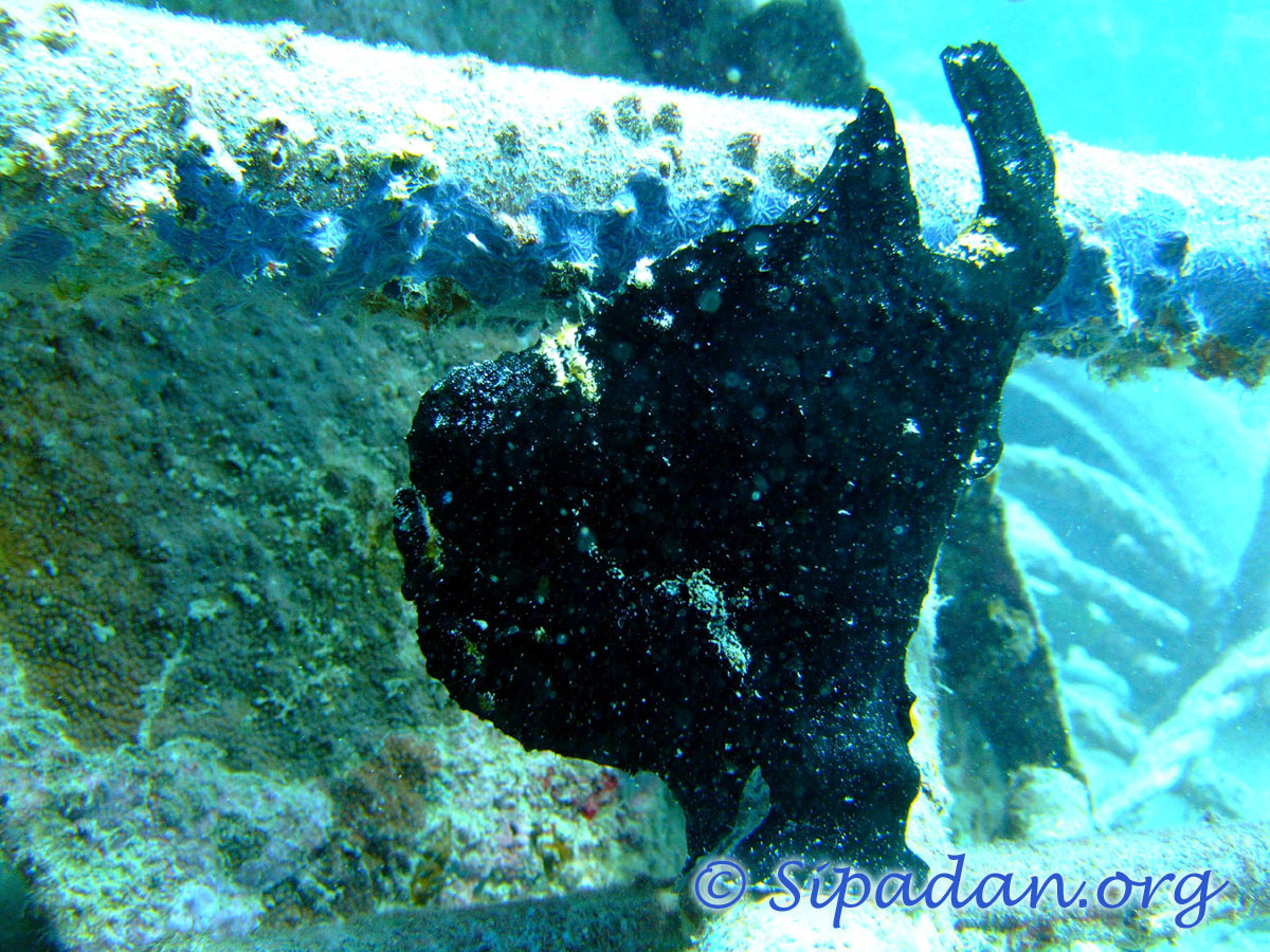 Frogfish 1
