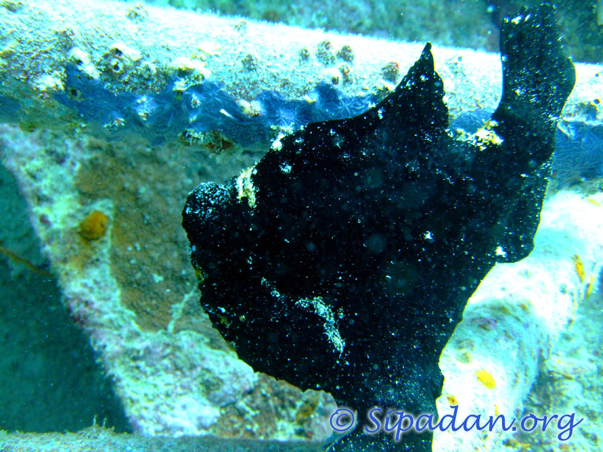 Frogfish 2