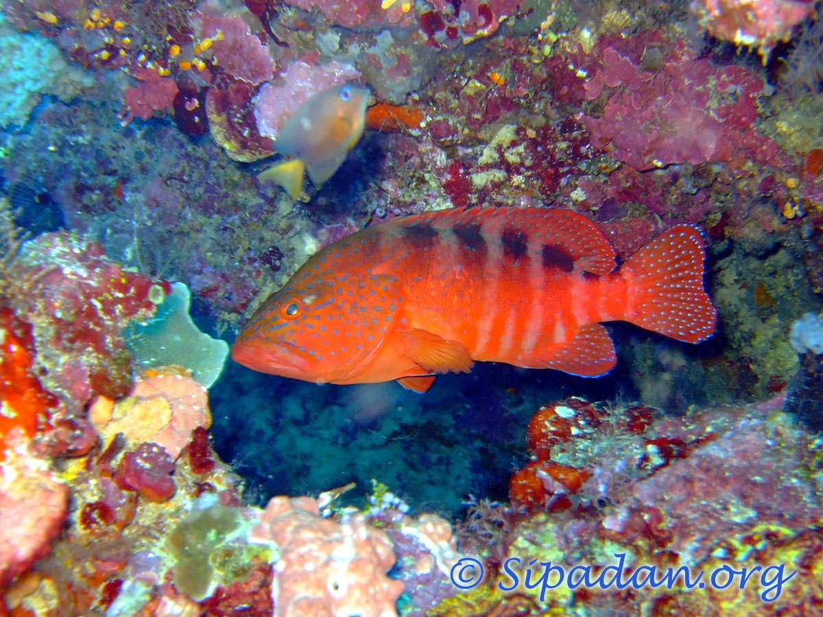 Coral grouper 1
