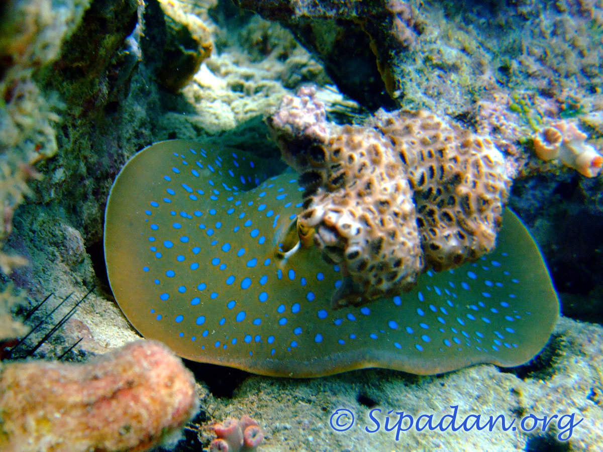 Blue spotted Ray 5