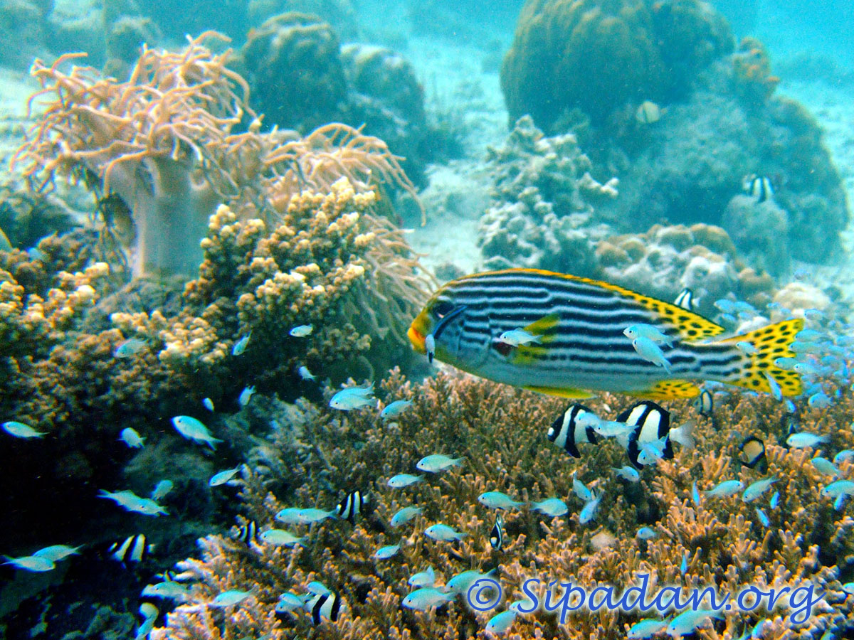 Oriental sweetlips 2